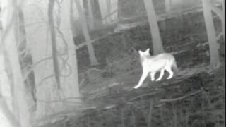 Запись охоты с лука на цифровой тепловизор ATN THERMAL