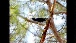 Florida Black Crow Bird