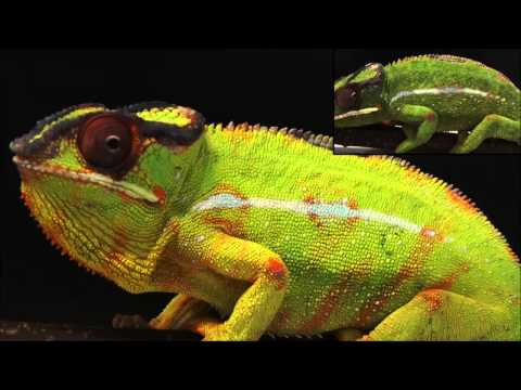 Nature Communications : Photonic crystals cause active colour change in chameleons