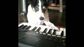 Dog Training/occupational Therapy:rat Terrier Improvising On Keyboards