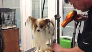 Pure Paws Grooming - Груминг Папильона