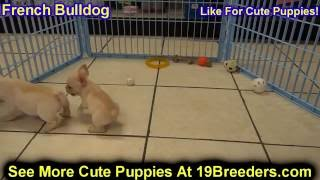 French Bulldog, Puppies , For, Sale, In Staten Island, New York, Ny, Brooklyn, County, Borough