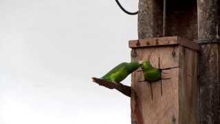 Periquitos - Tuim (Forpus xanthopterygius) - Blue-winged Parrotlet  - Capelinha / Angelândia - MG
