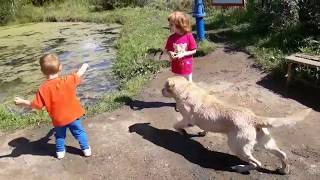 Дети купают лабрадора в пруду. Крокодил или Собака? Labrador sweeming. Crocodile or dog?