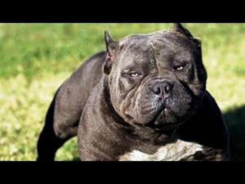 Leopard vs pitbull. Puma attack dog. Jaguar killed a dog. Tiger kills dog. Wild animals kill dogs.