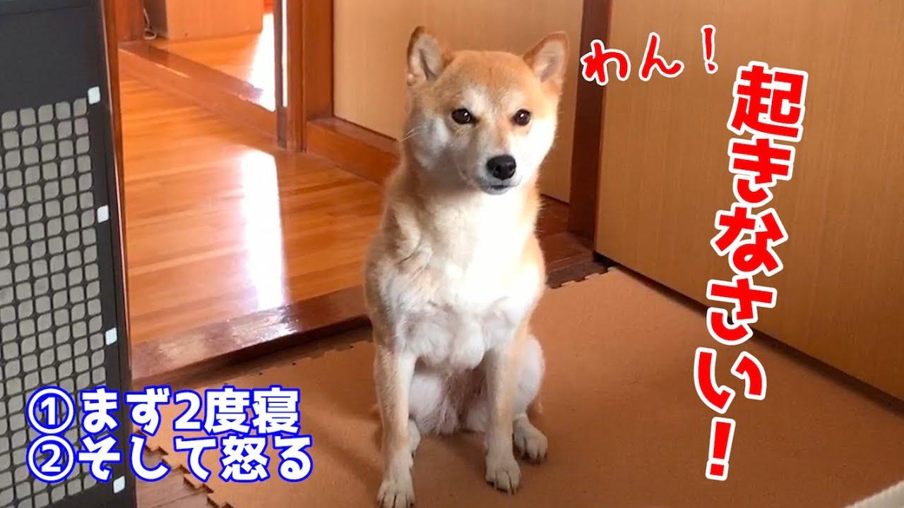 朝寝坊すると柴犬が起こしに来て一生懸命なのが可愛すぎた! shiba inu