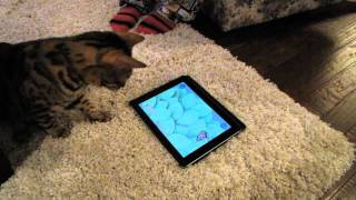 Game For Cats Test iPad App Bengal Linus Cat Tips