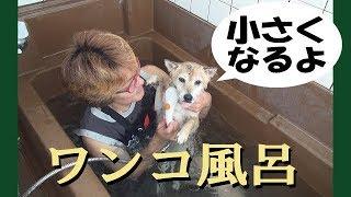 甲斐犬ハルヱ2歳10ヶ月と柴犬エミー15歳3ヶ月。2019年最初の「ワンコ風...