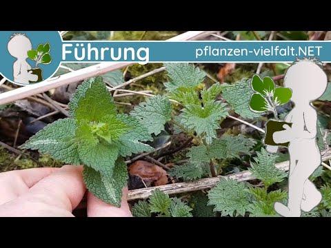 wildkräuter-führung---kw-11-(mitte-märz)---frühblüher-und-grünzeug
