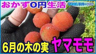 【おかず0円生活】山桃の実を採取して♪