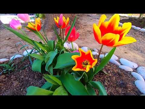 📜Лазаревское улицы 6 Апреля 2020 Сочи\ цветы тюльпаны