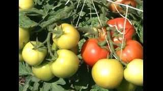 видео Томат Бабушкина гордость: характеристика и описание сорта, урожайность с фото