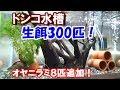 【ドンコ水槽】と【オヤニラミ追加】日本淡水魚水槽