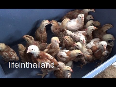 Update on the 25 chicks from the Thai hatchery, They have gotten ugly.