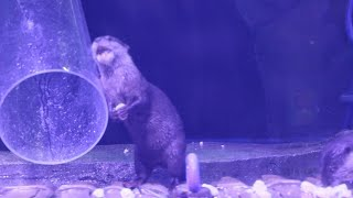 Shanghai ocean park feeds otter family special Yuanxiao