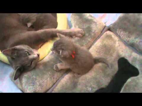 Russian Blue kitten talking to her mother