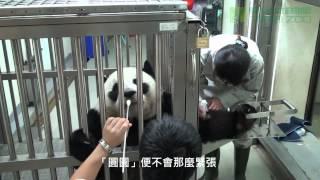 團團圓圓上學去 Animal Training of Tuan Tuan and Yuan Yuan