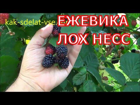 Ежевика — Википедия