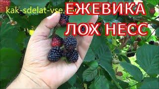 видео Ежевика: сорта, выращивание, уход, использование ягод