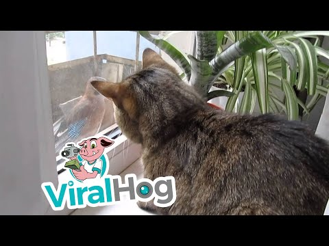 Frustrated Cat Talks to a Bird Outside || ViralHog