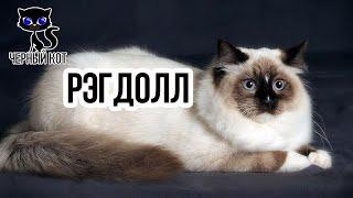 Порода кошек Рэгдолл / Интересные факты о кошках