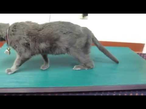 Diabetic Neuropathy in a Cat