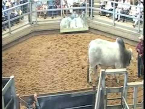 ROCKHAMPTON BRAHMAN WEEK 2008 LIVE WEBCAST LOT23