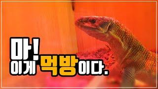 [파충류]_사바나모니터_돼지앞다리살먹기_마룡이TV