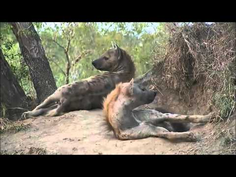 Safari Live - Hyena Den. 2015-12-20. (Sunset Safari live)