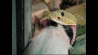 Mexican west coast rattlesnake feeding