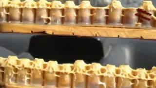 Production de la gelée royale الغذاء الملكي