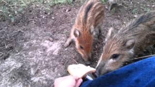 Dziki,  Locha z młodymi Wild Boar dangerously close !