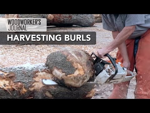 Harvesting Burls for Woodturning