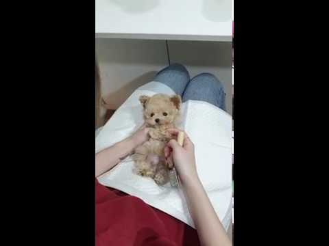 Baby cream poodle grooming video cutest and lovely puppies videos 2 - Teacup puppies