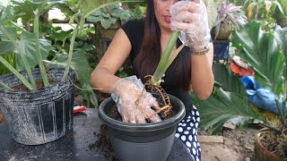 how to propagate ring of fire #philodendron