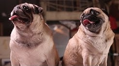 hqdefault - Lifespan Of Pug With Diabetes