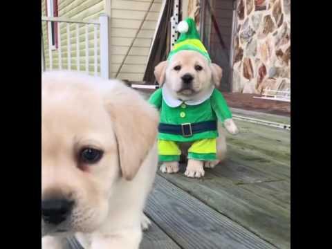 Adorable Golden Labrador Puppy Wears Elf Costume For