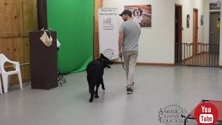 Stop Leash Pulling in 5 minutes- Dog Training with America's Canine Educator