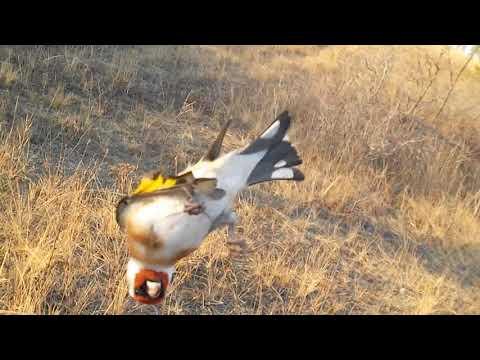 Ловля птиц орнитологической сетью в саду  Подпишитесь  это важно для развития канала