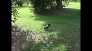 IHL57 Петергоф 9. Еще 2 белочки и много птиц.