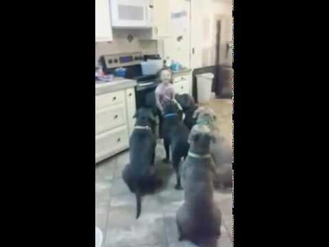 Mirá lo que sucede cuando dejas a una niña de 4 años sola con 6 pitbulls - 09/01/14