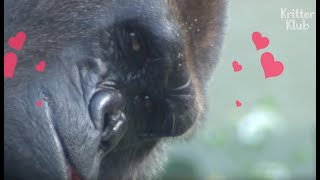 A Lonely Gorilla Who Just Wanna Be In Love Gets Her Wish One Day... | Kritter Klub