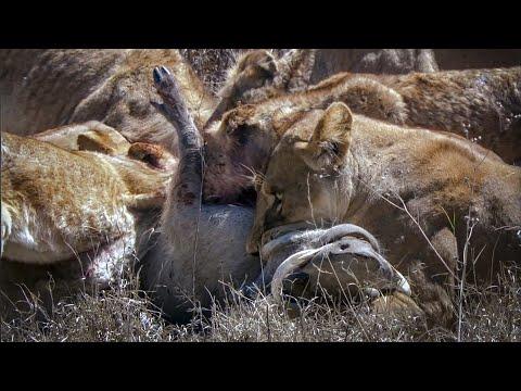 Lions Battle to Survive - David Attenborough - Nature's Great Events - BBC
