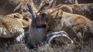 Lions Battle to Survive | David Attenborough | Nature's Great Events | BBC