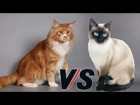 Siberian cat VS Siamese Cat - Animal Beast