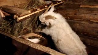 Кормушка для коз!!!новые питомцы! Начинаем горку делать!!