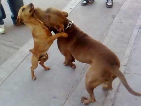 Cuchillo Filereando A Kofy Peleas De Perros Fight Youtube