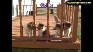 Collie, Puppies, For, Sale, In, Birmingham, Alabama, Al, Montgomery, Tuscaloosa, Jefferson, Shelby,