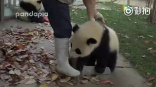 Naughty panda babies wrestling with basket and piles of leaves
