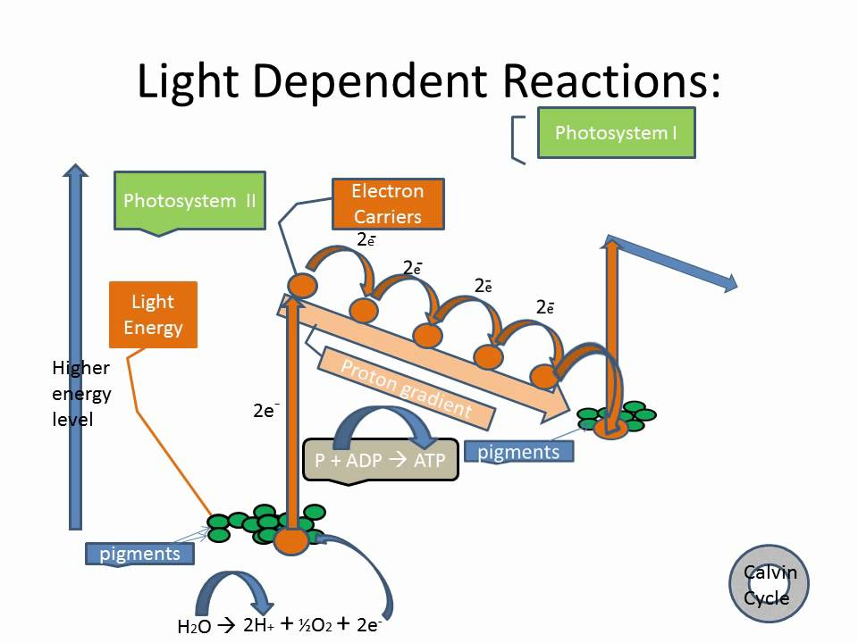 Related Keywords & Suggestions for light dependent reaction